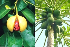 nutmeg oil relieves arthritis, it's nut and mace are spices and the fruit is used for jam . Pawpaw is not only tasty, but has healing qualities